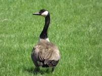 image of Canadian Goose